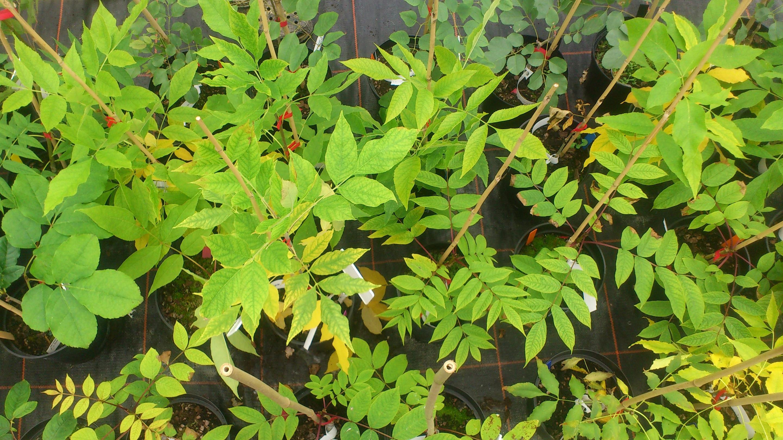 Ash saplings