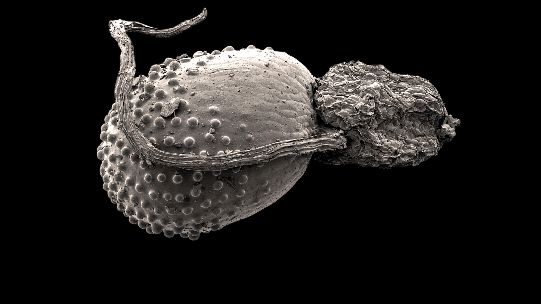 Glinus lotoides (Credit: Wolfgang Stuppy)