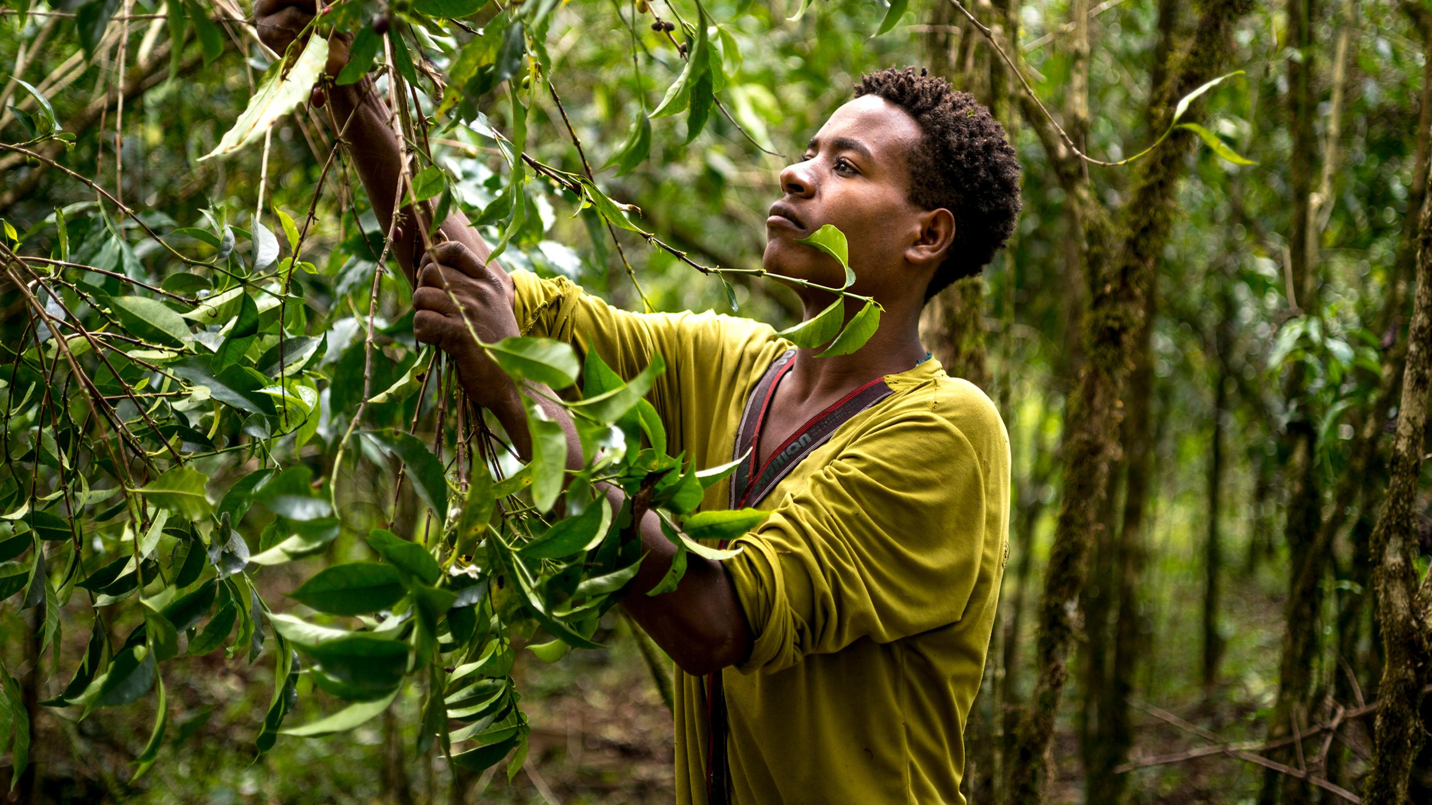 Harvesting coffee by hand from forest at Yayu, south-west  Ethiopia. Image Alan Schaller_Union Hand-Roasted Coffee