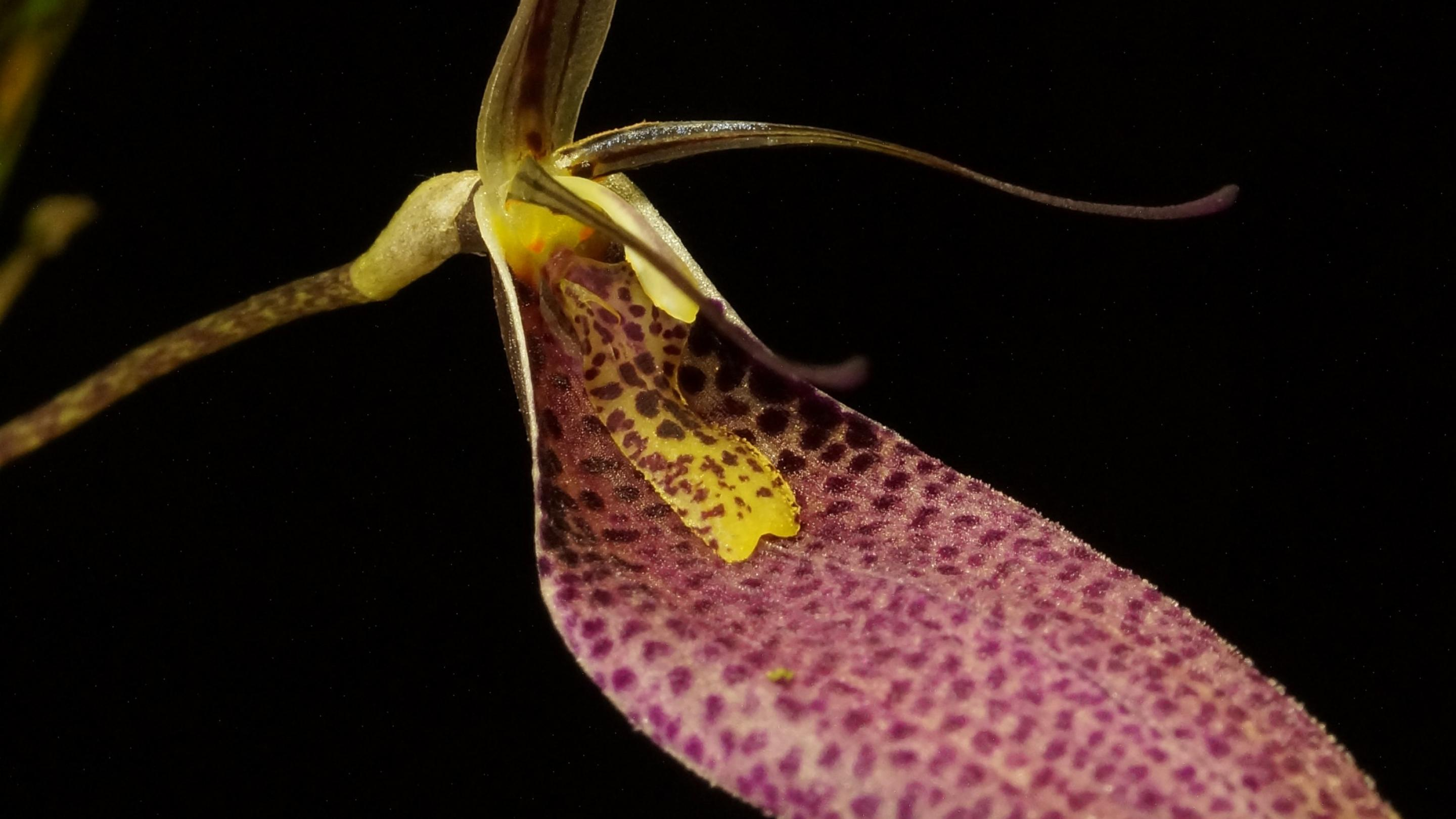 Image showing Restrepia contorta, an orchid endemic to Northern Andes region and a member of Pleurothallidinae, one of the most characteristic orchid groups of the Andean mountain flora