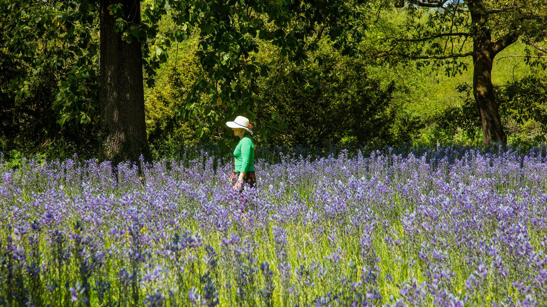 Walking among the purple blooms