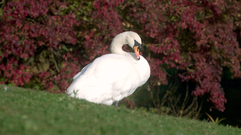 Swan in front of bush in autumn