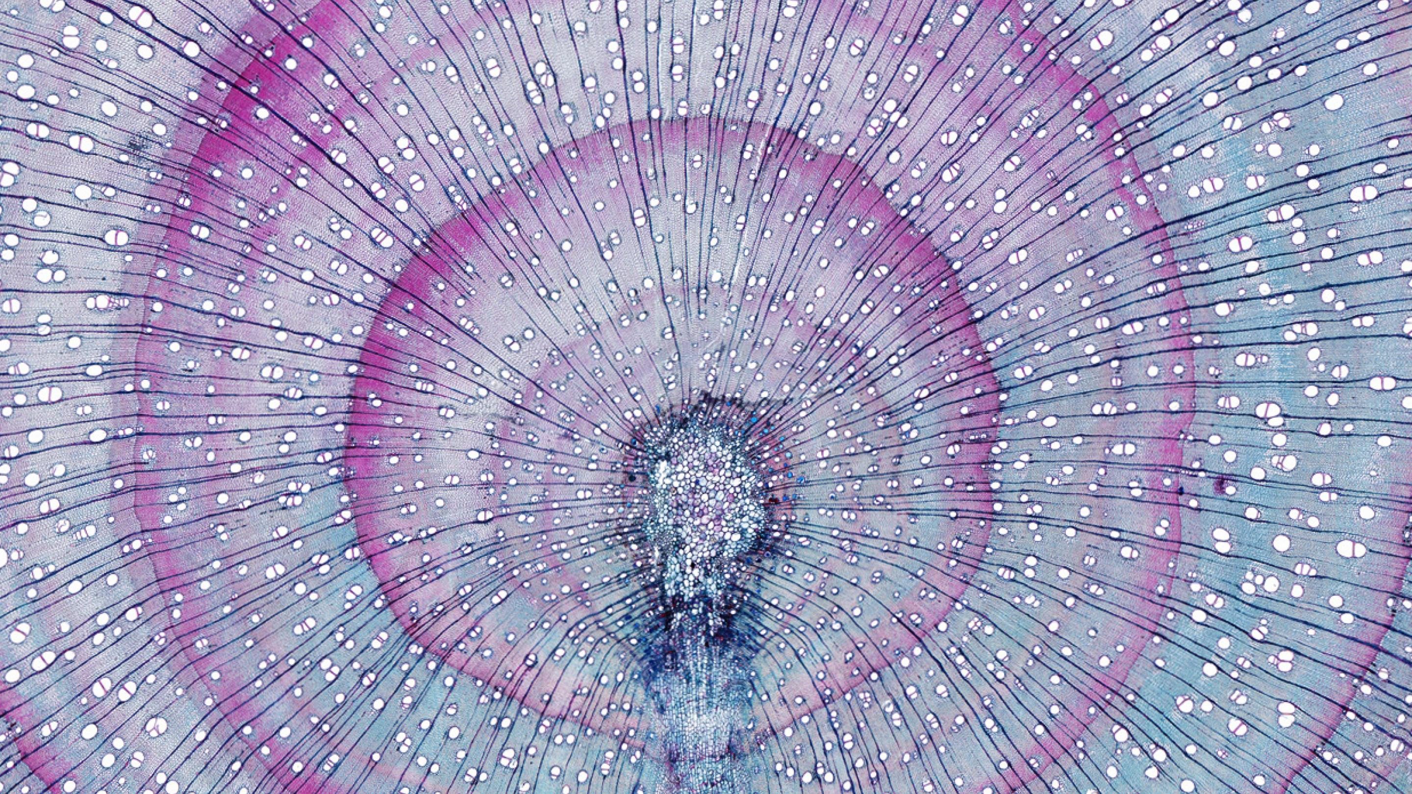 Image showing Cross section of wood and bark from the stem of Acacia dealbata, also known as the silver wattle, blue wattle or mimosa (imaged using a 5X objective lens; A. Musson);