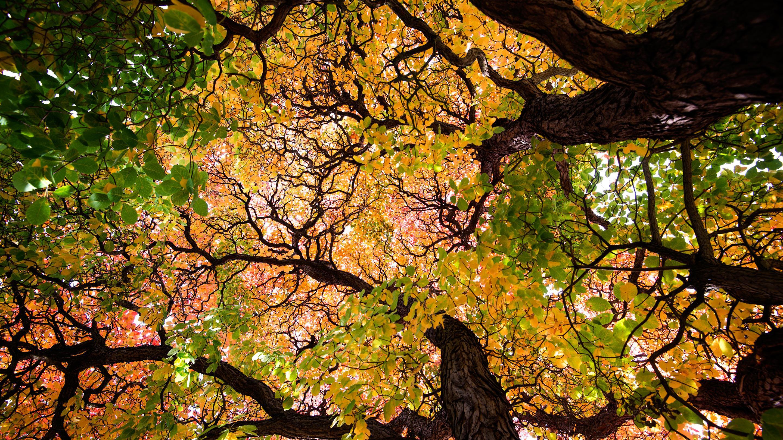 branching tree for ks1