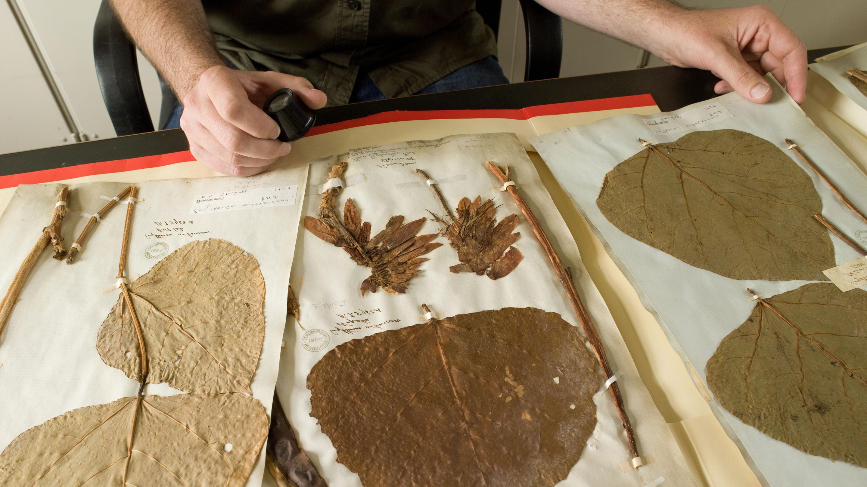 Studying a herbarium specimen