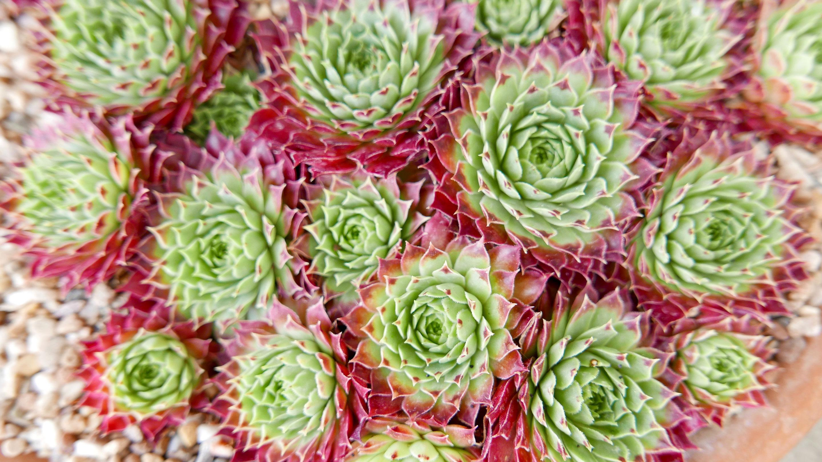 Many varieties of alpine plants are on display in the Davies Alpine House