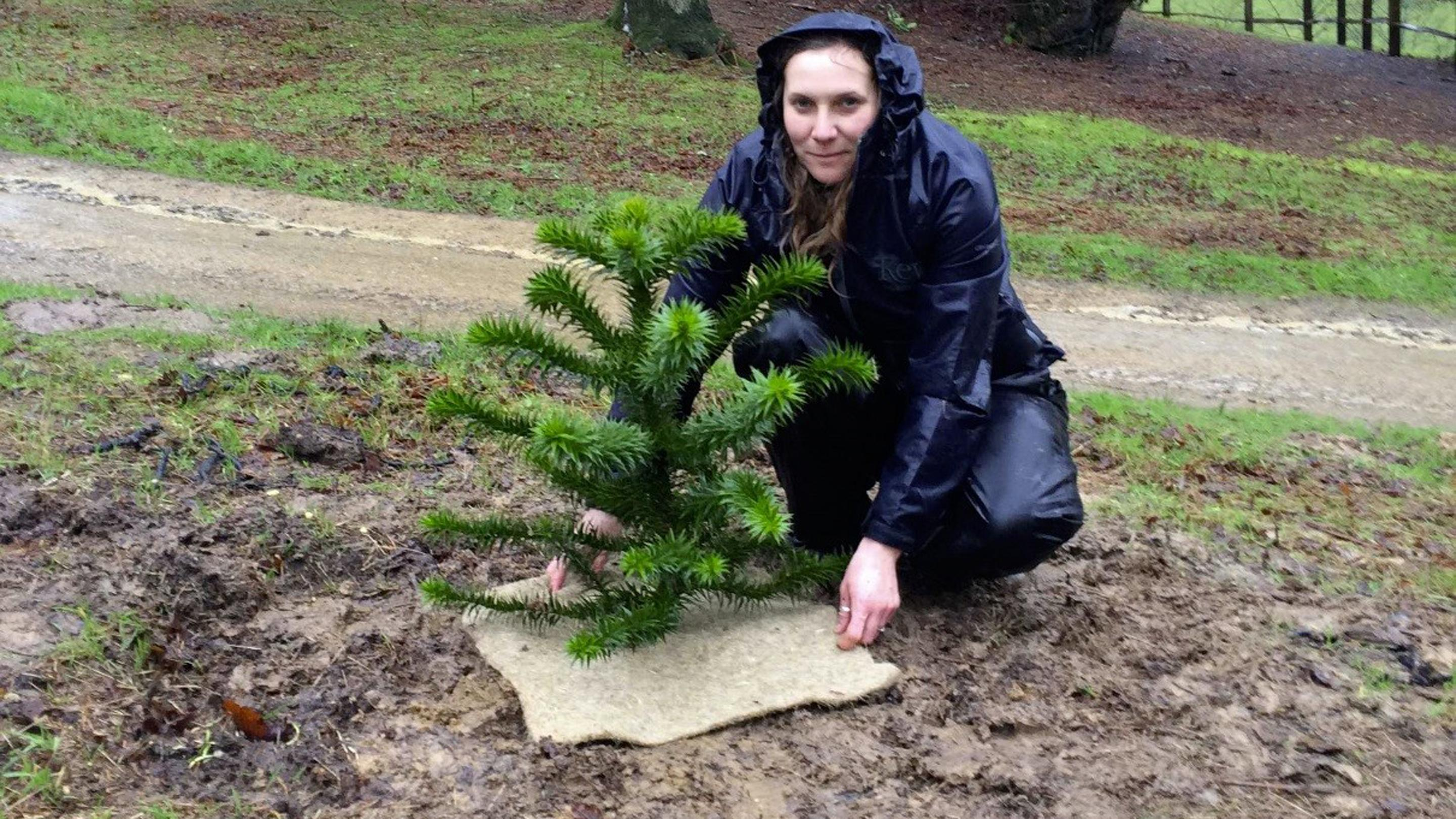 Rare monkey puzzles at wakehurst kew for Horticulturist crossword clue