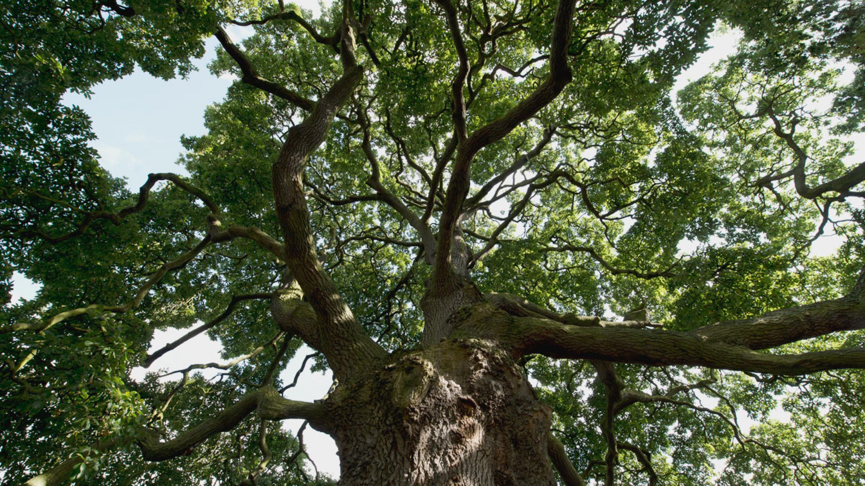 Lucombe oak (Quercus x hispanica 'Lucombeana')