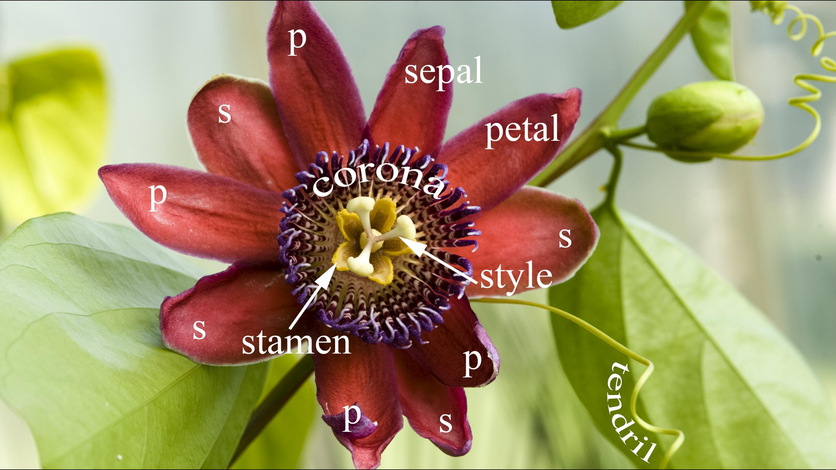 A Passion For Passion Flowers Kew Science Blog