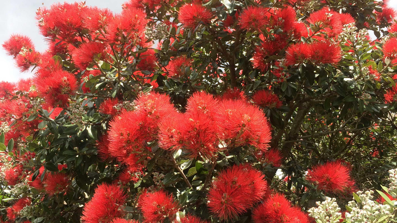 Image showing Pōhutukawa (Metrosideros excelsa) in flower in Auckland Botanic Gardens