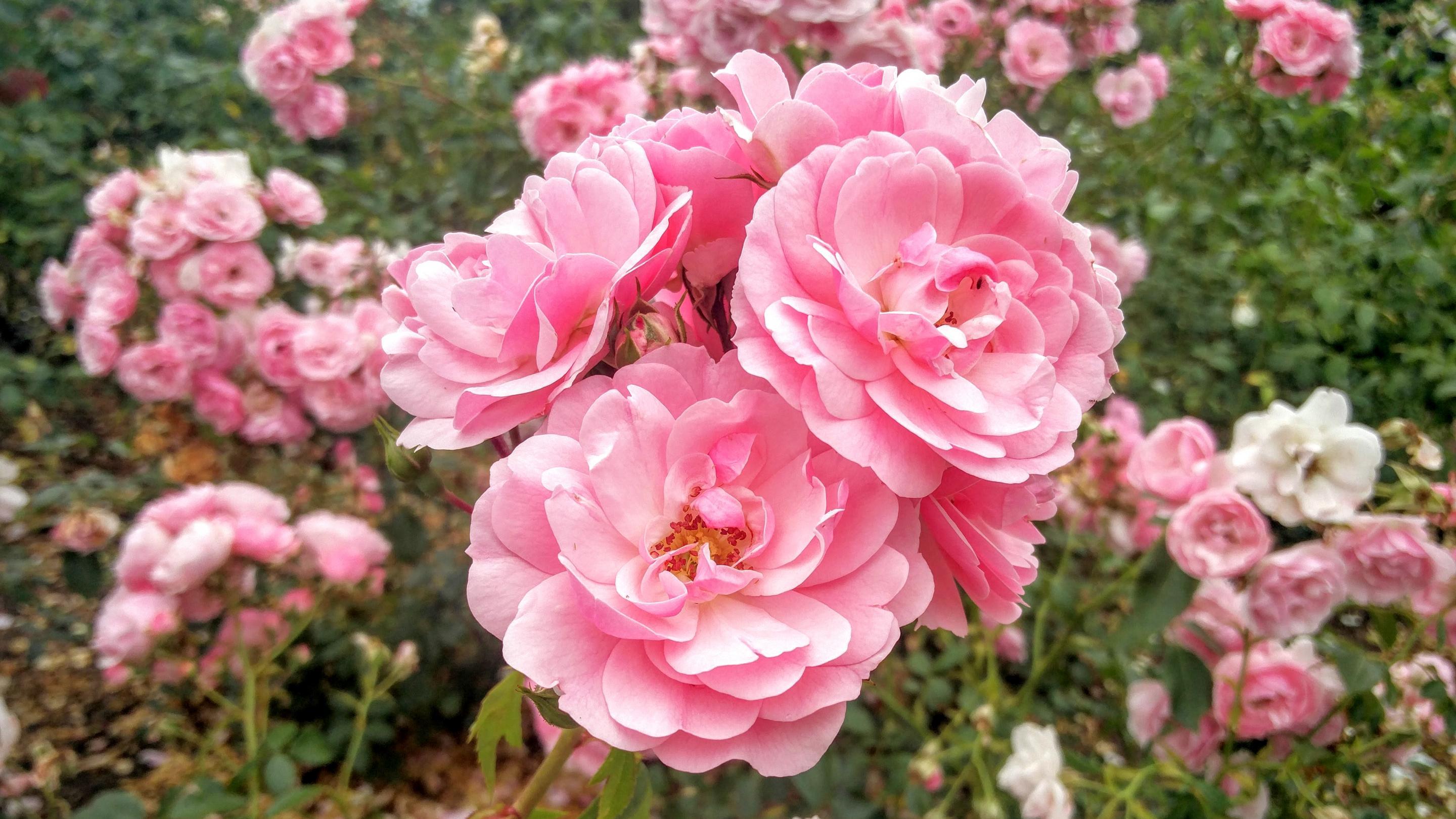 Rosa 'Bonica' in the Rose Garden at Kew