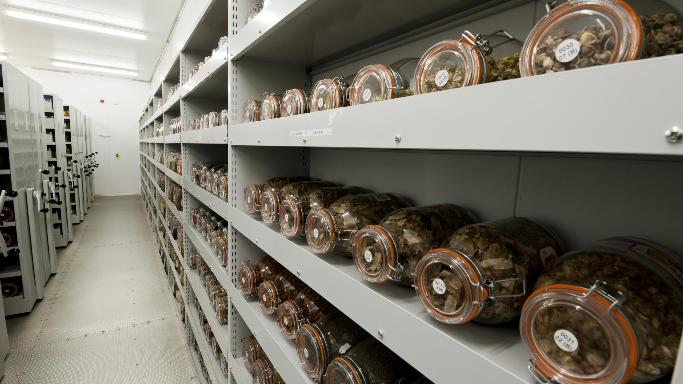 Seeds of crop wild relatives collected around the world are sent to the Millennium Seed Bank at Wakehurst Place in Sussex, to be stored