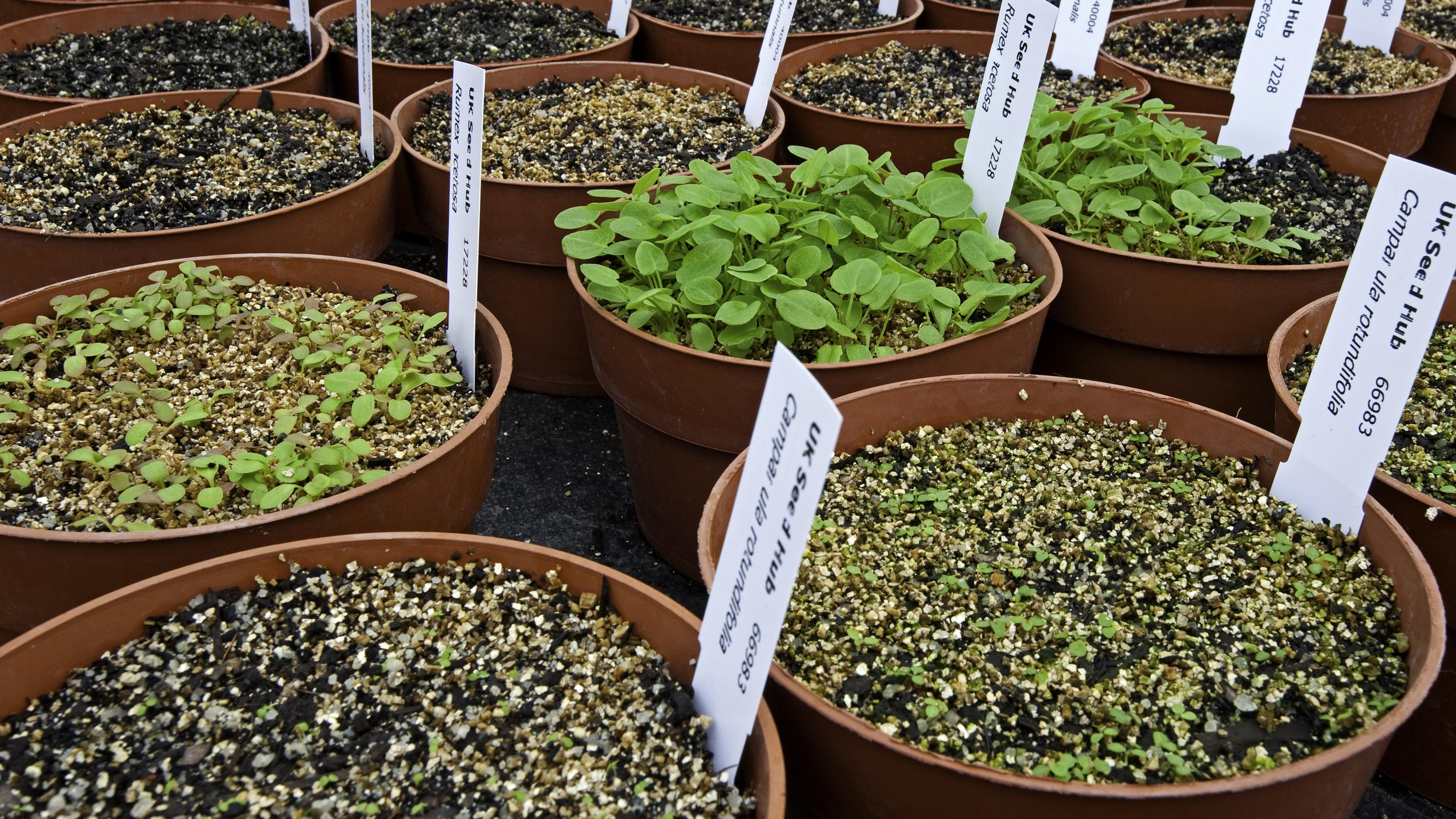 Seedlings for the UK Native Seed Hub (Credit: Wolfgang Stuppy)