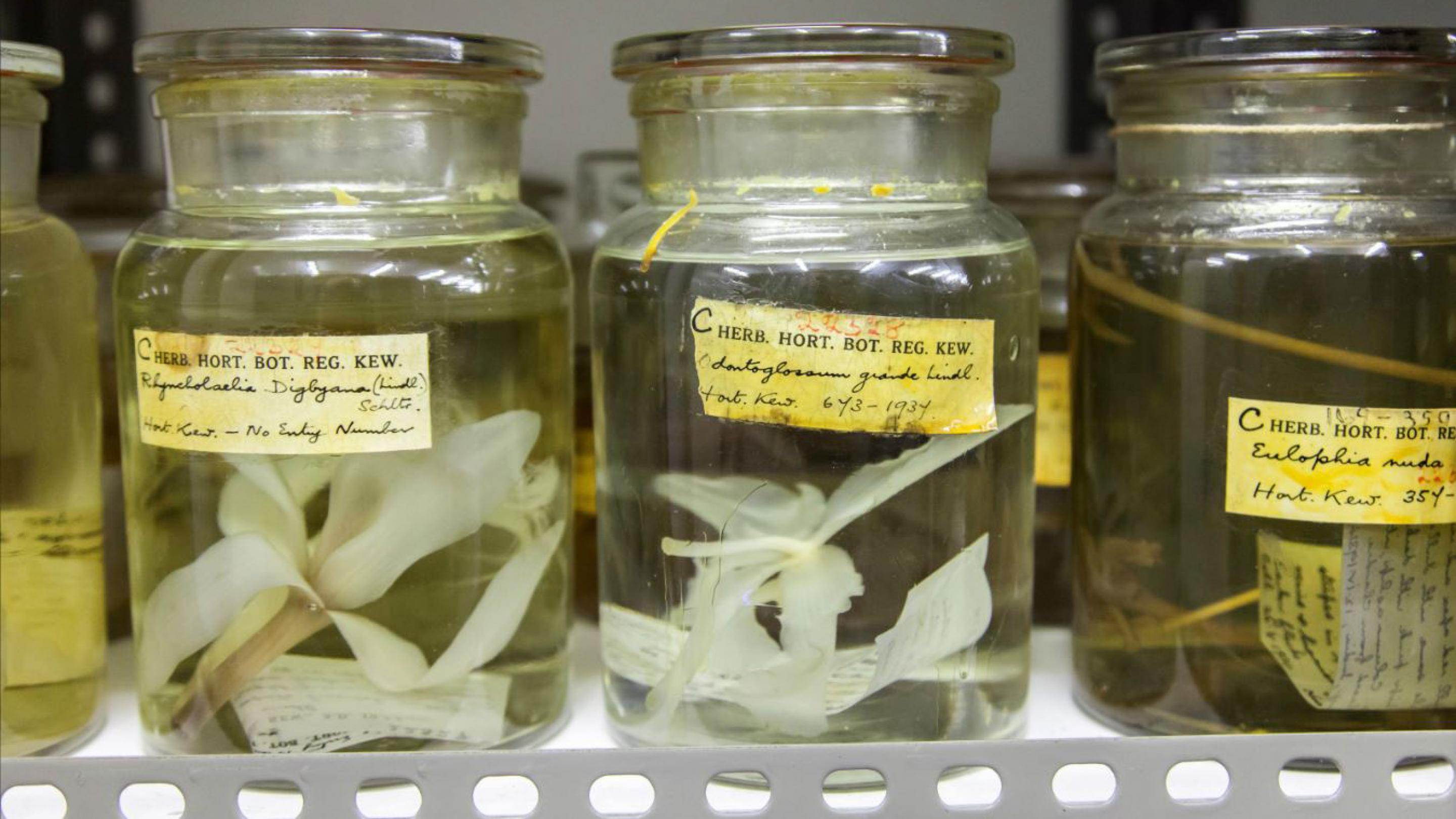 Image showing Specimens of fleshy fruits and delicate flowers preserved in jars in the Spirit Collection