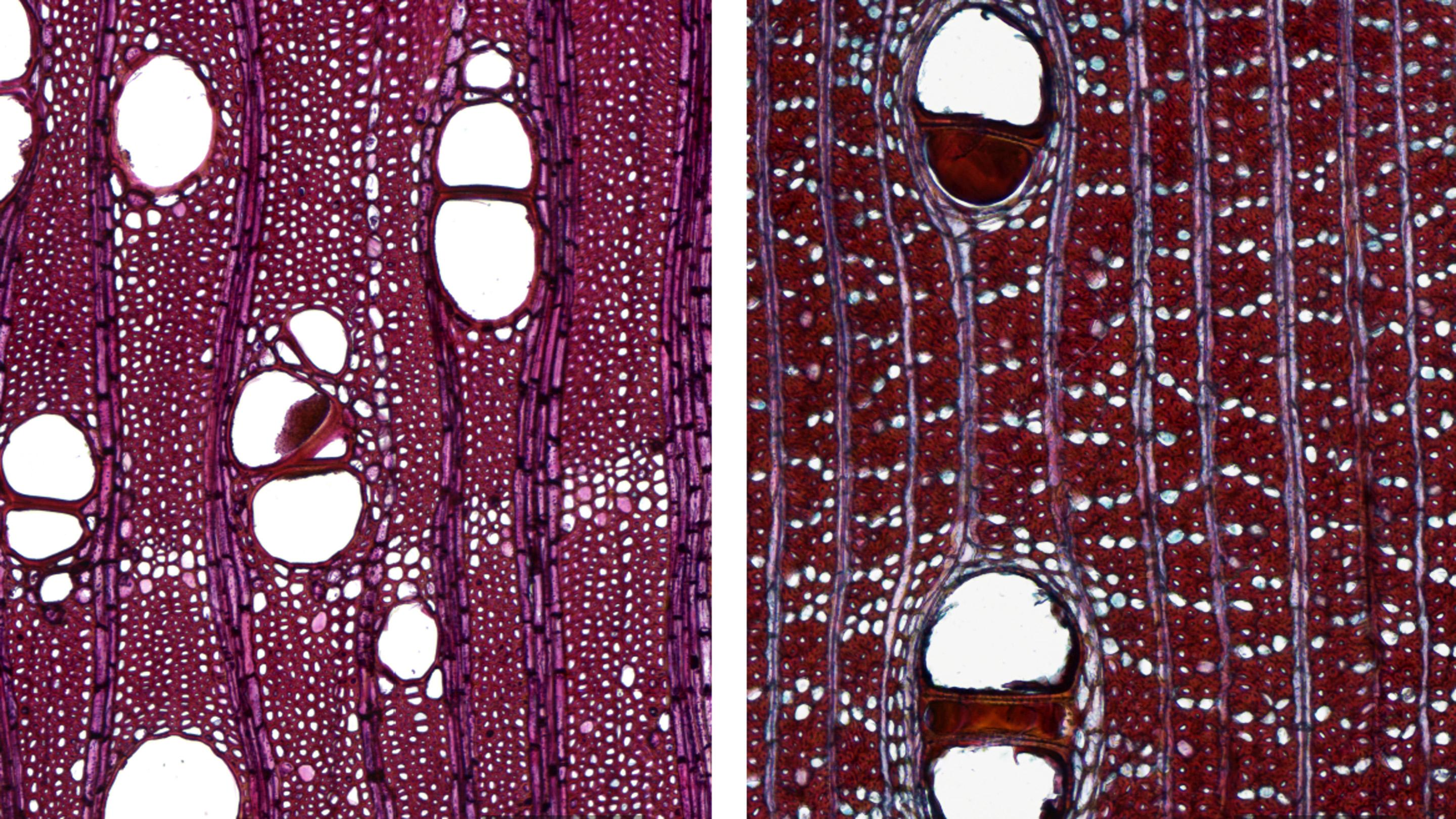 Scans produced with 10x objective and extended depth of field showing transverse sections: (L>R) Swietenia humilis (standard hardwood) and Dalbergia retusa (non-standard hardwood) (Photo: A.Musson)