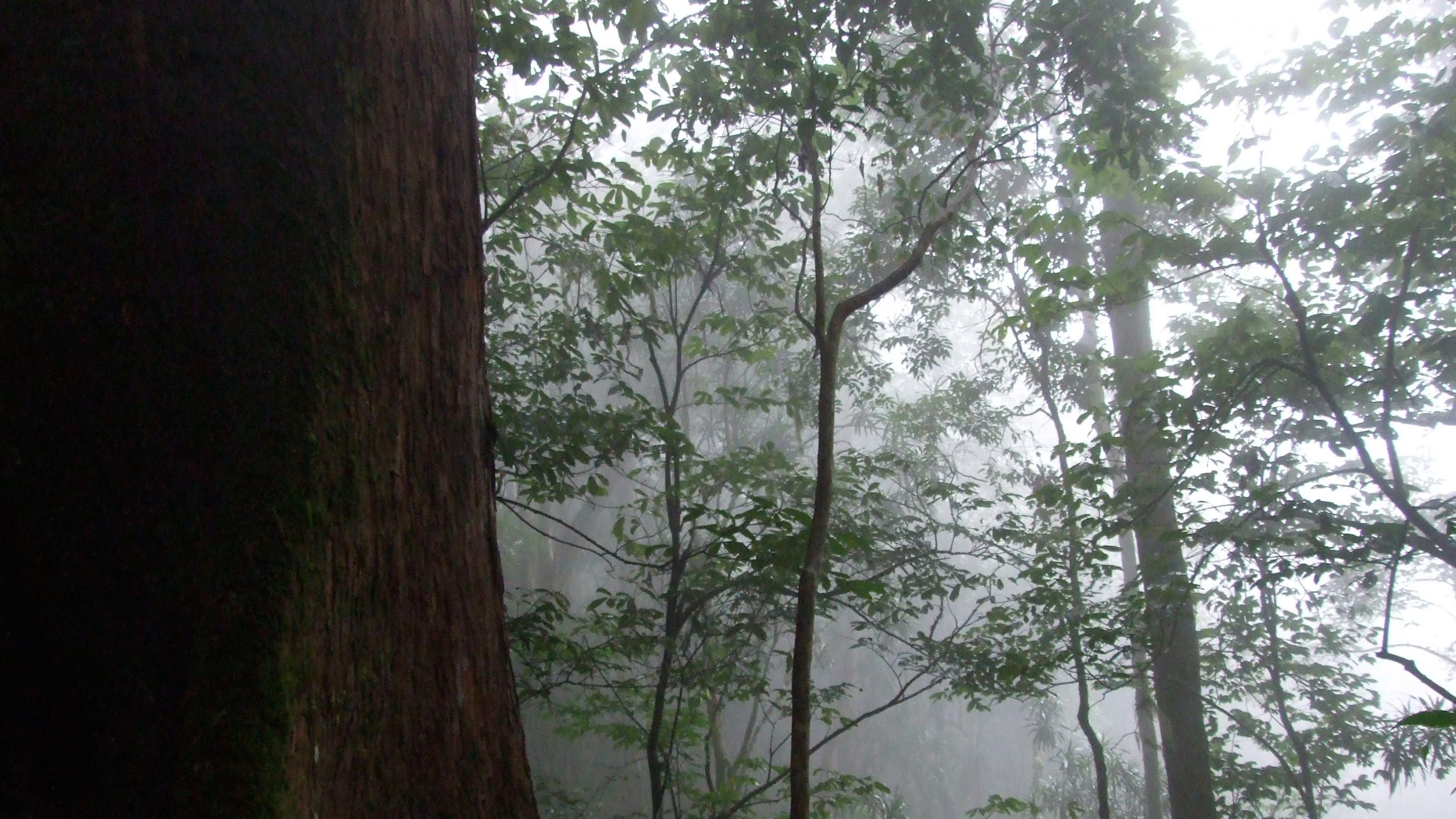 Image showing Mwanihana Forest Reserve, Tanzania Mist and giant trees in the forests of Udzungwa National Park, Tanzania (T.Lovett)