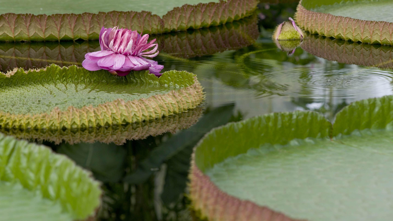 Victoria amazonica (giant waterlily)