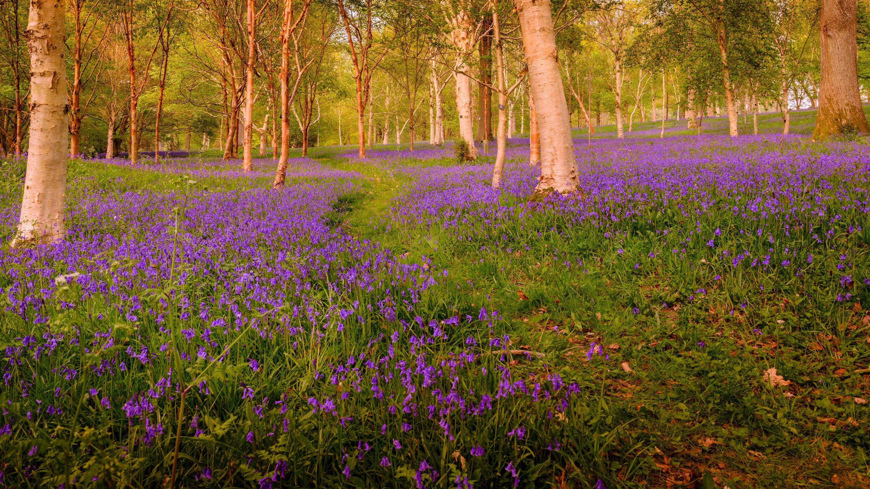 Bluebells at Wakehurst