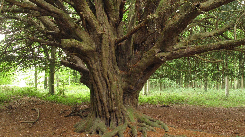 analysis of yew wood kew
