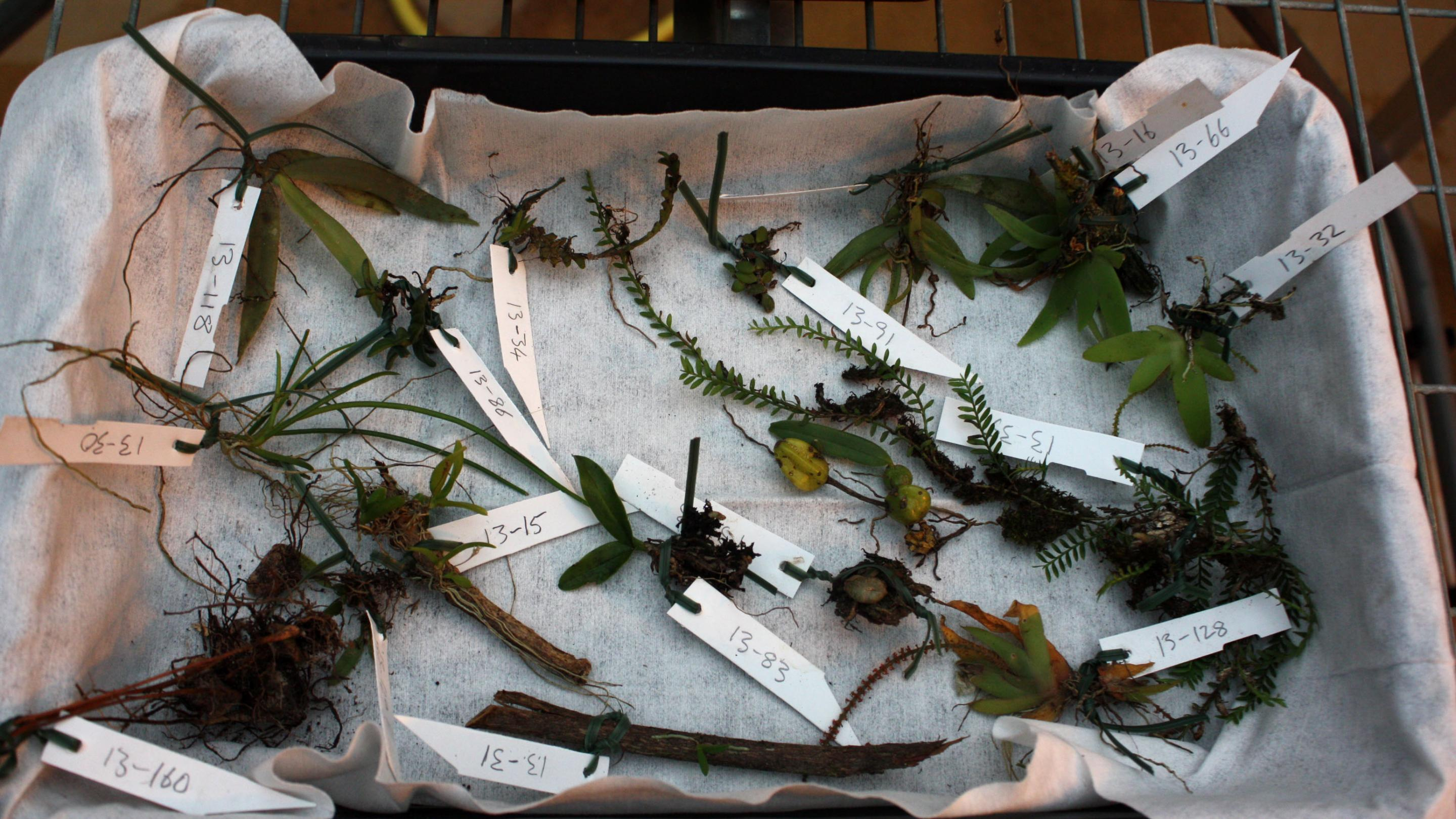 Photo of smaller collected orchids in the Quarantine House