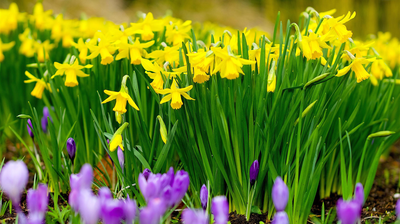 Daffodils at Kew