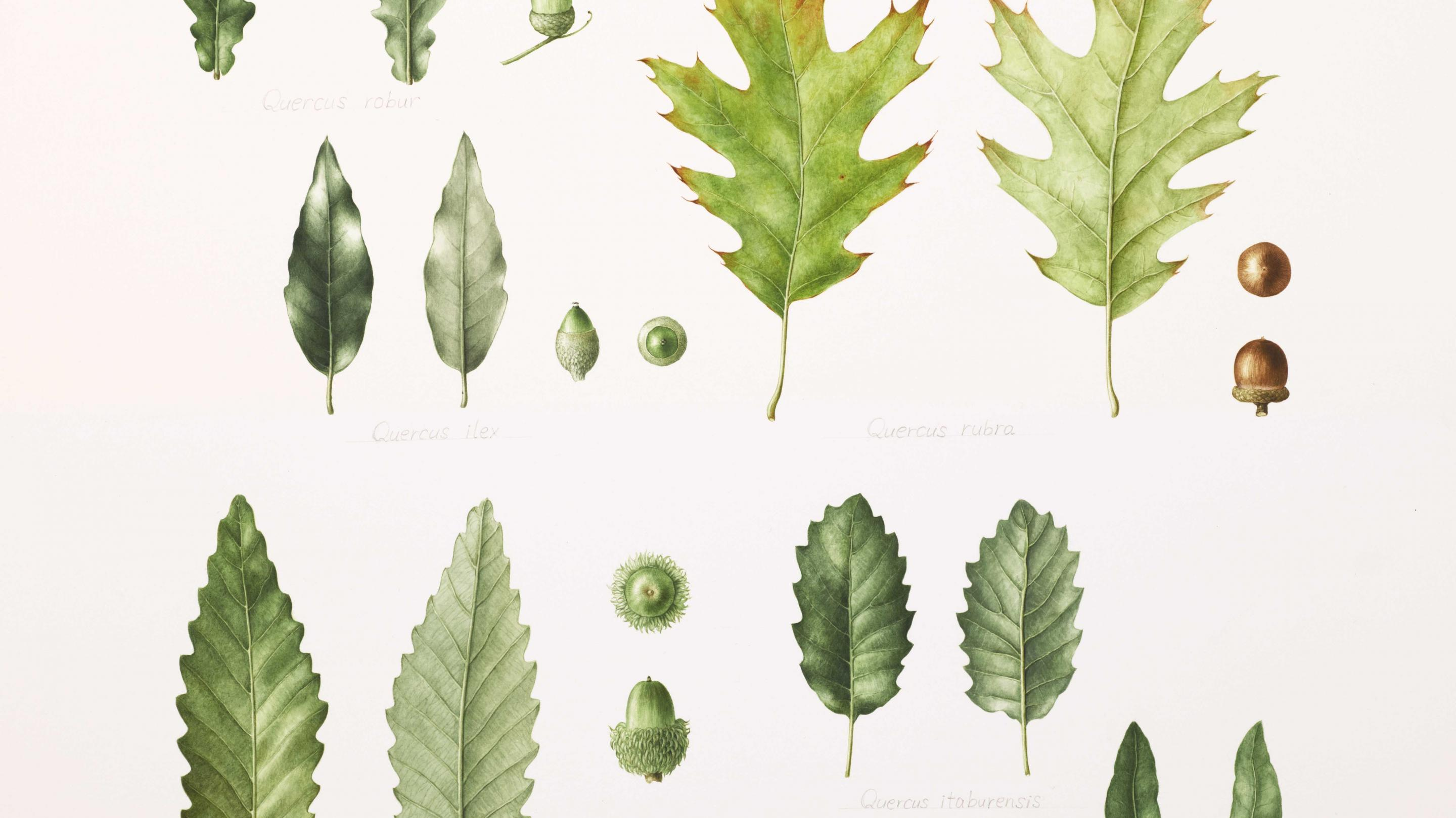 An image of oak leaves and acorns from Kew <em>Quercus</em> spp. Masumi Yamanaka, Watercolour on paper. Private collection.