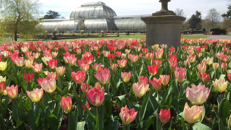 Tulip displays in spring