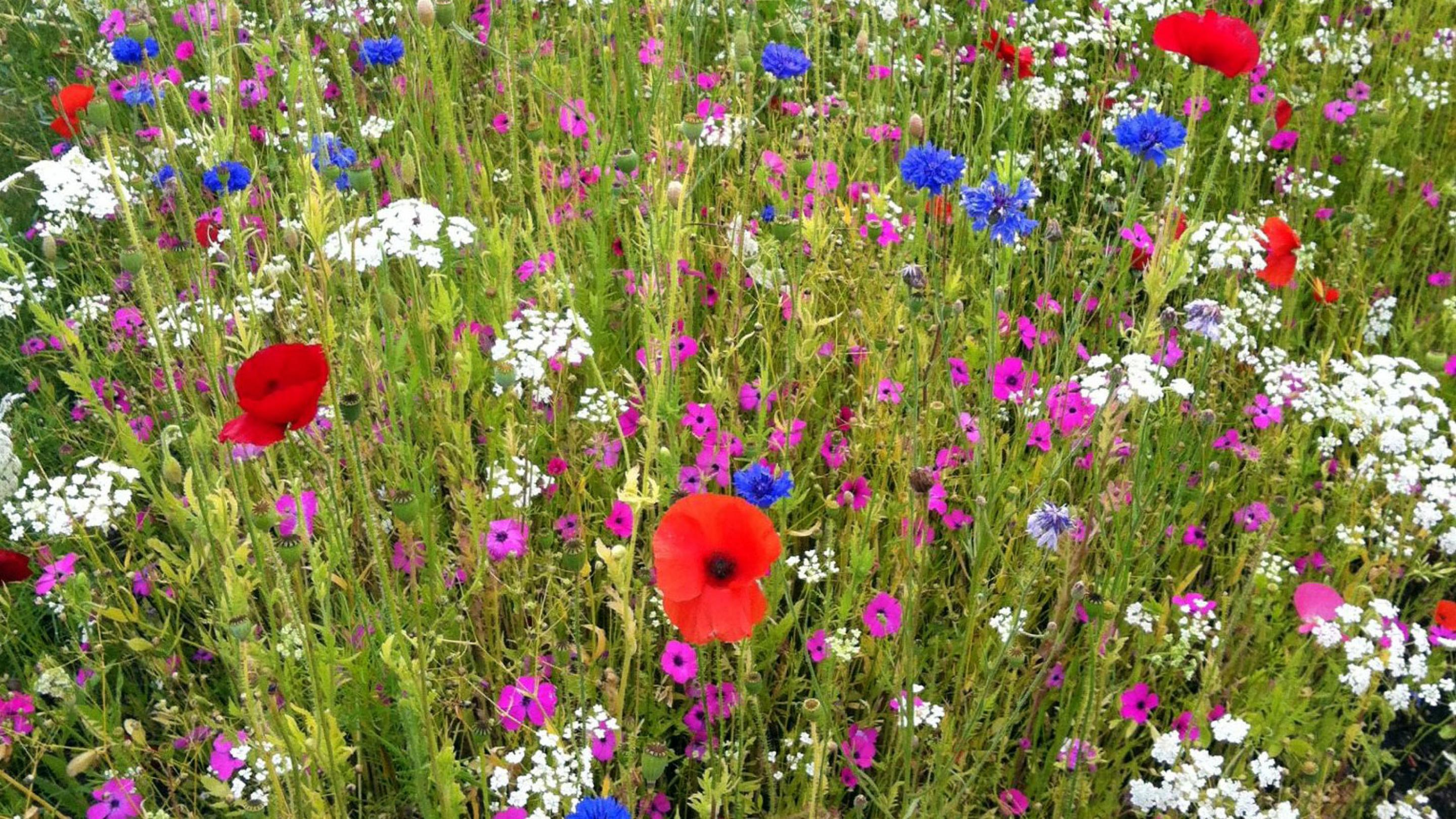 Wild flower meadows provide shelter and food for important pollinators including bees