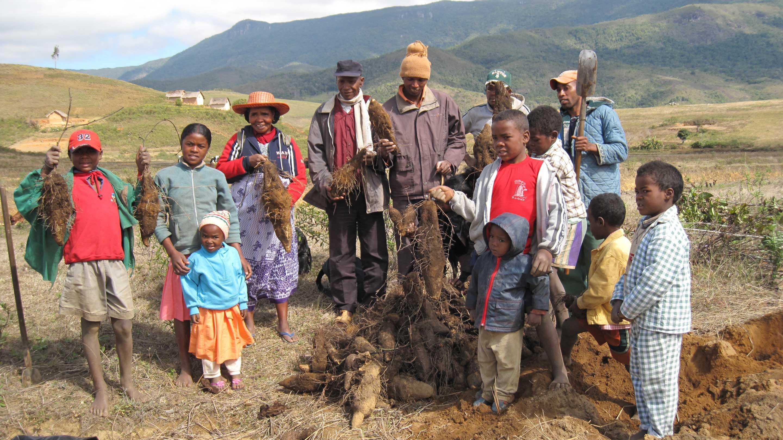 Yam harvesting in Madagascar