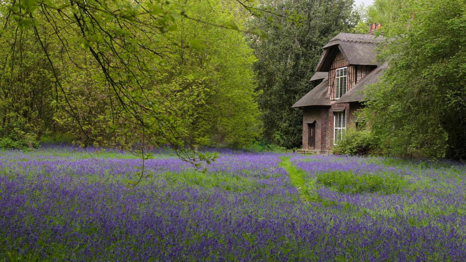 Bluebells blooming in front of Queen Charlotte's Cottage