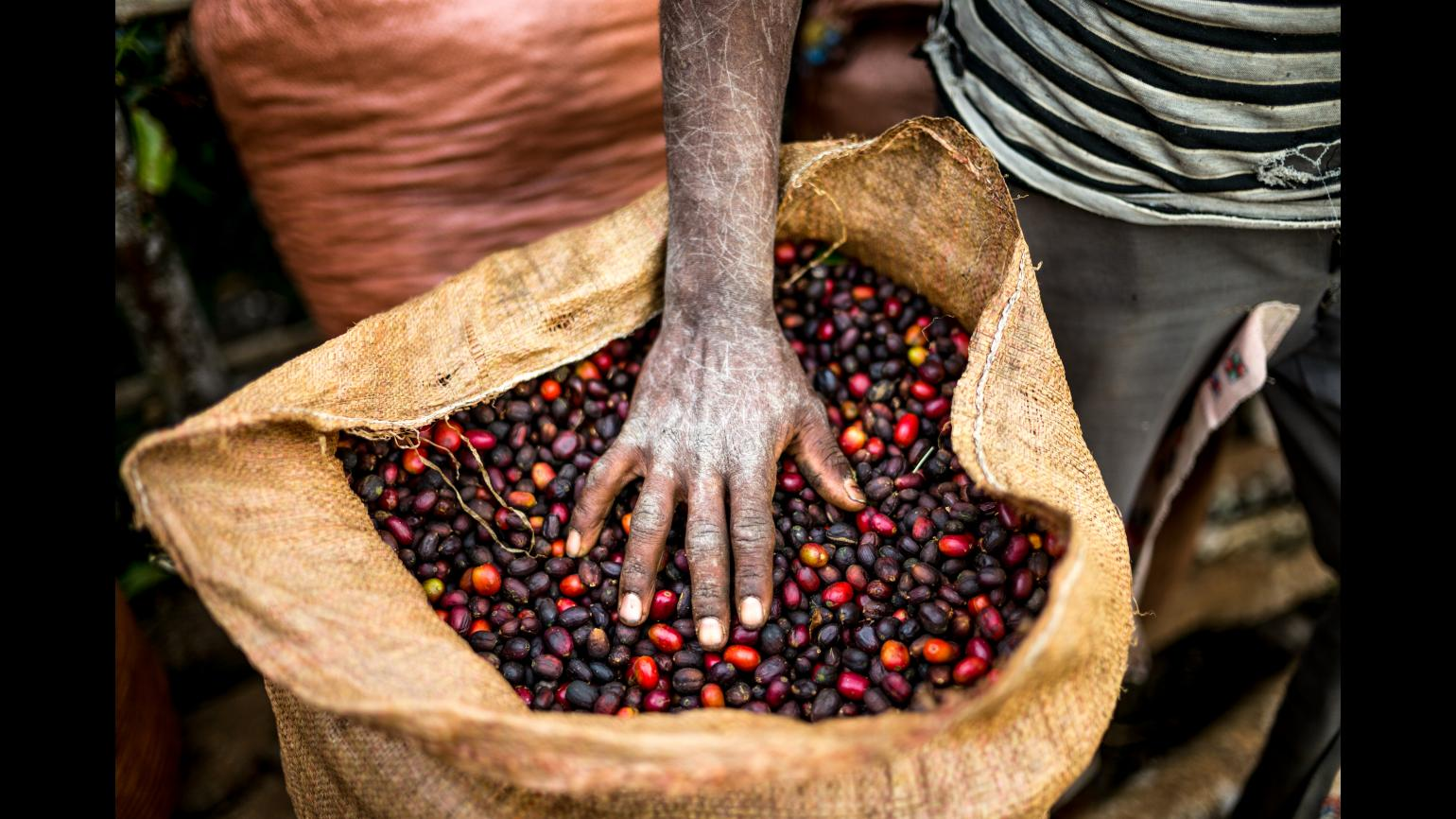 A man inspects fresh harvested coffee in Ethiopia