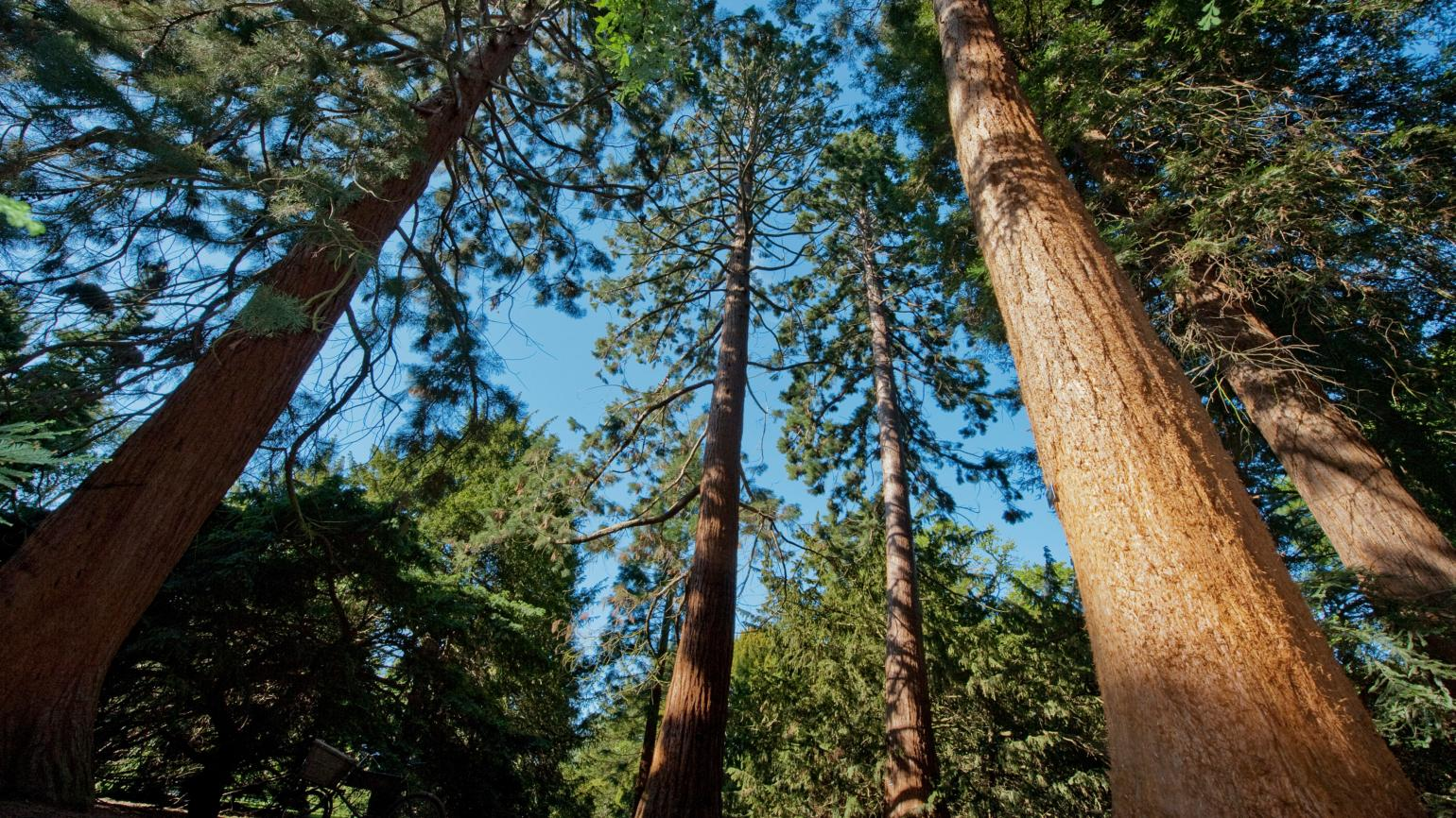 Giant redwoods in Kew's Redwood Grove