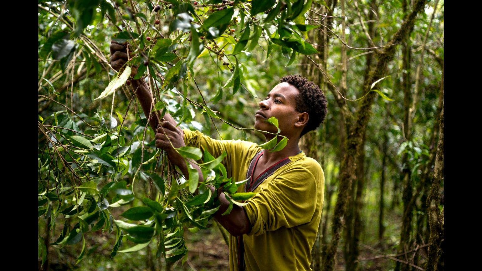 A man is harvesting coffee by hand in south-west  Ethiopia.