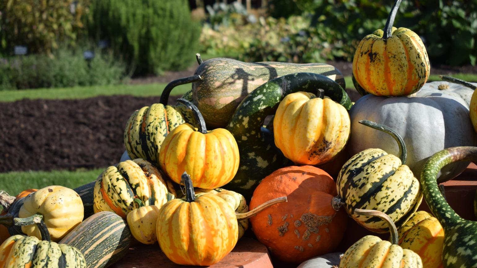 Autumn's pumpkins in our Kitchen Garden