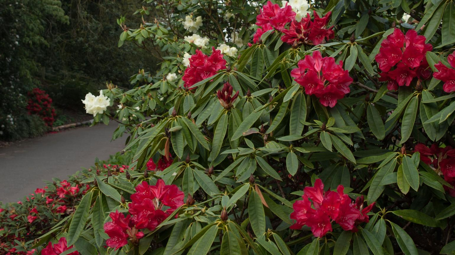 Crimson rhododendrons in the dell