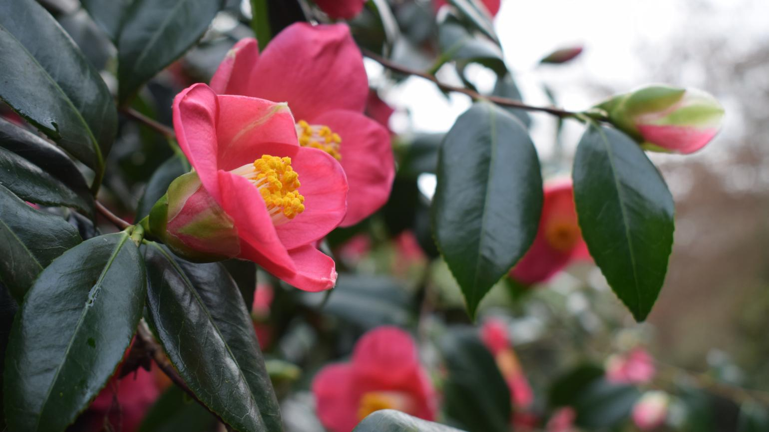 Close-up of bright pink rhododendron in the dell