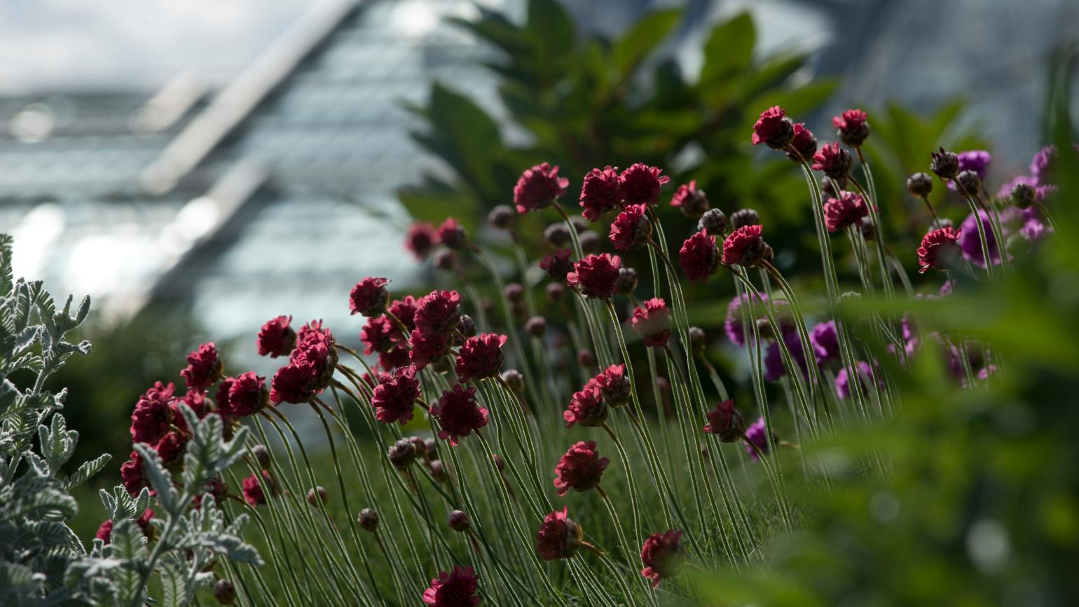 Red Armeria maritima in the Rock Garden