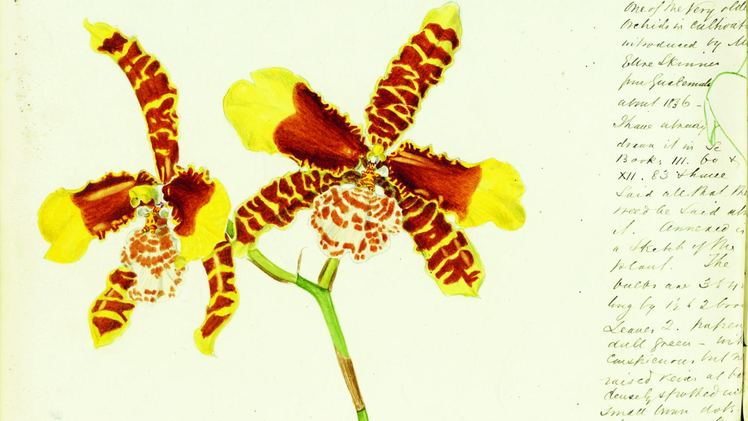 Rossioglossum grande, labelled as Odontoglossum grande from John Day's Scrapbook, 1883