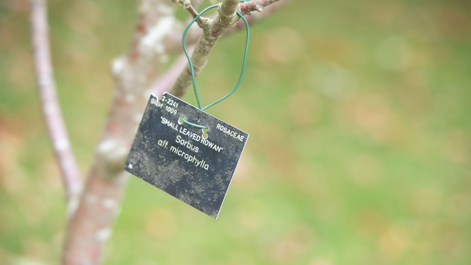 Plant label detail of the 'Small leaved rowan'