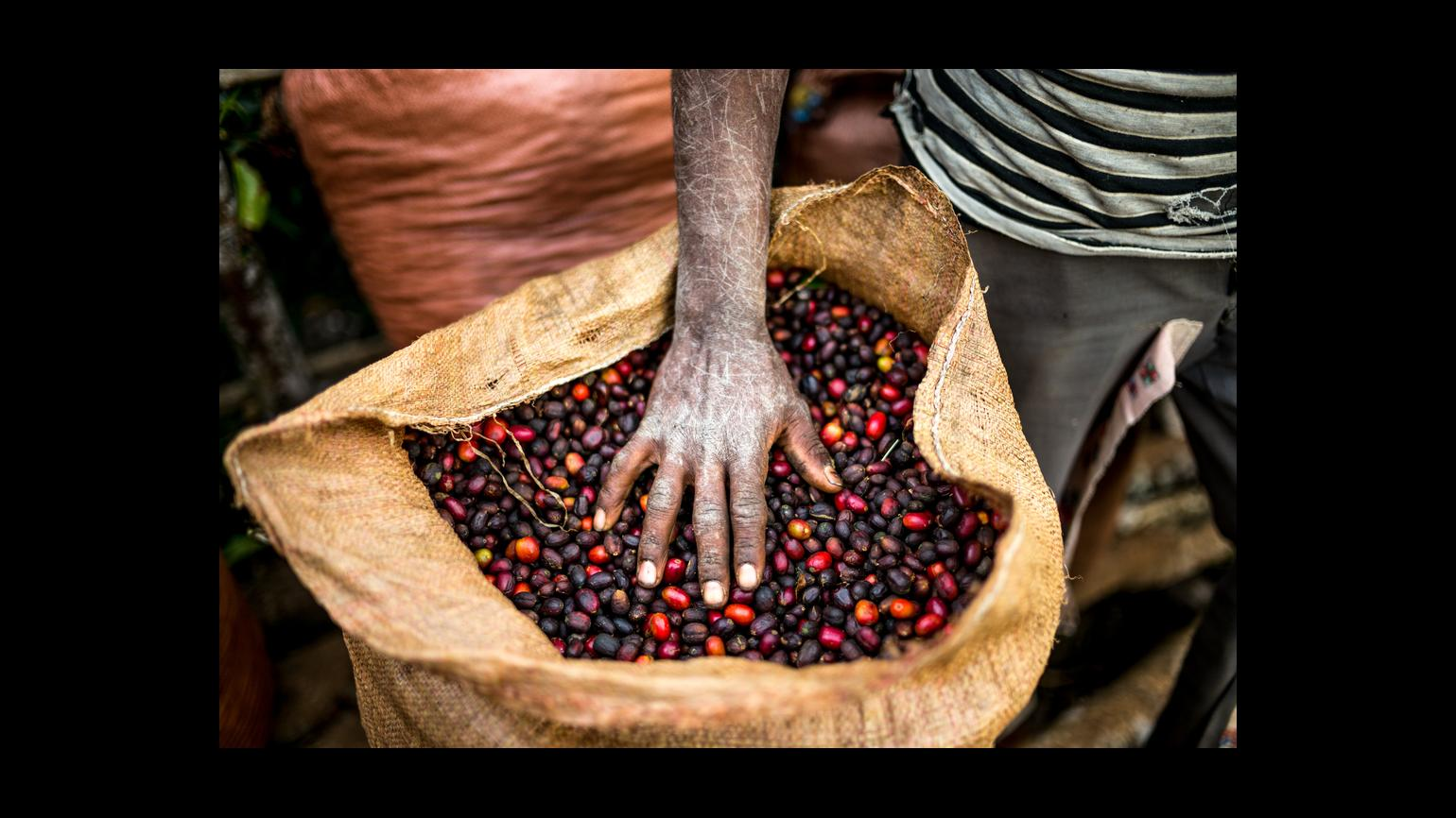 Freshly harvested coffee in Ethiopia in a bag