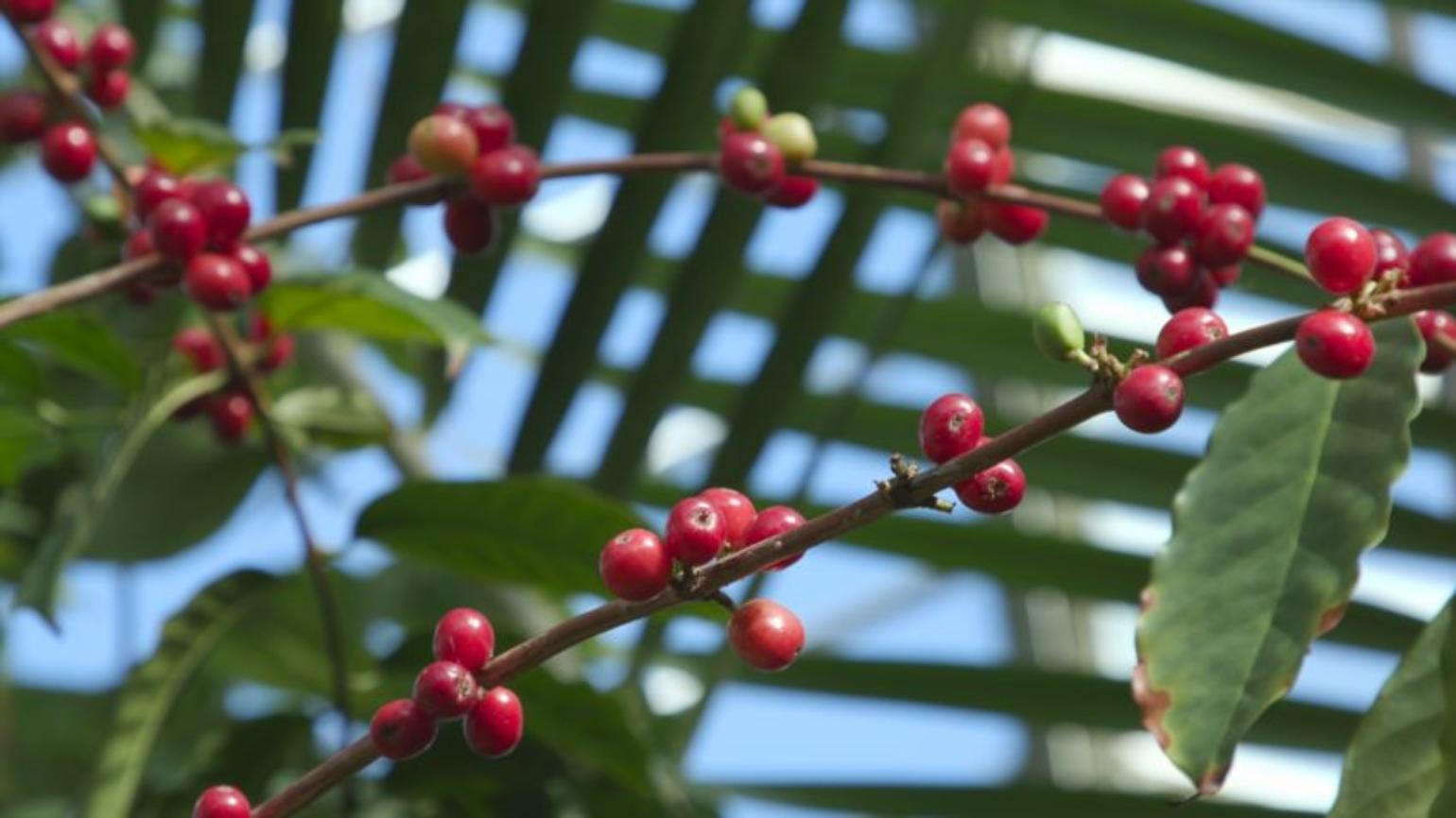 Bright red, rounded berries of arabica coffee