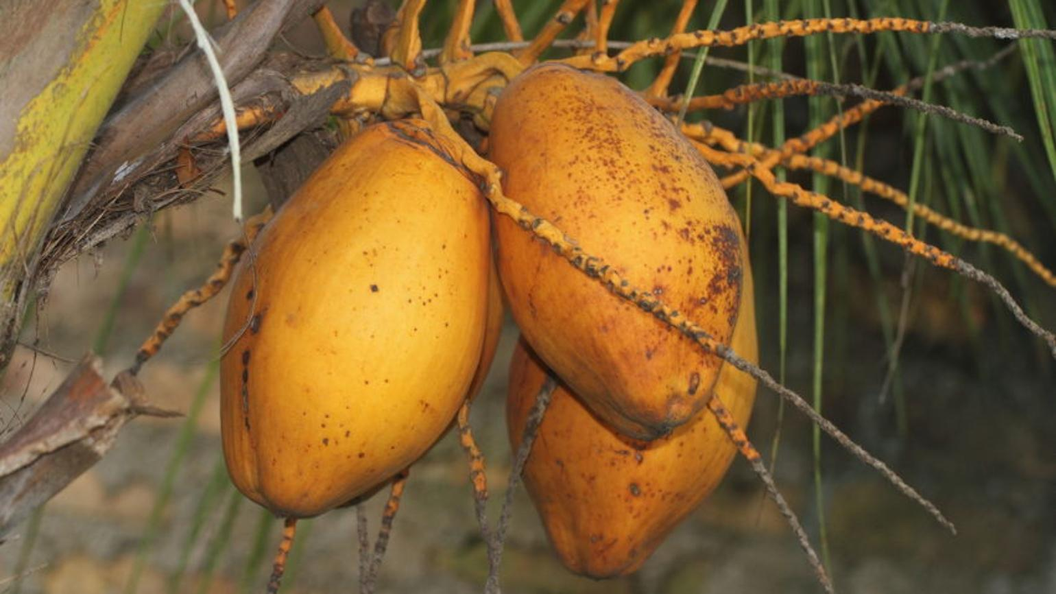 Rounded, yellow fruit of coconut palm