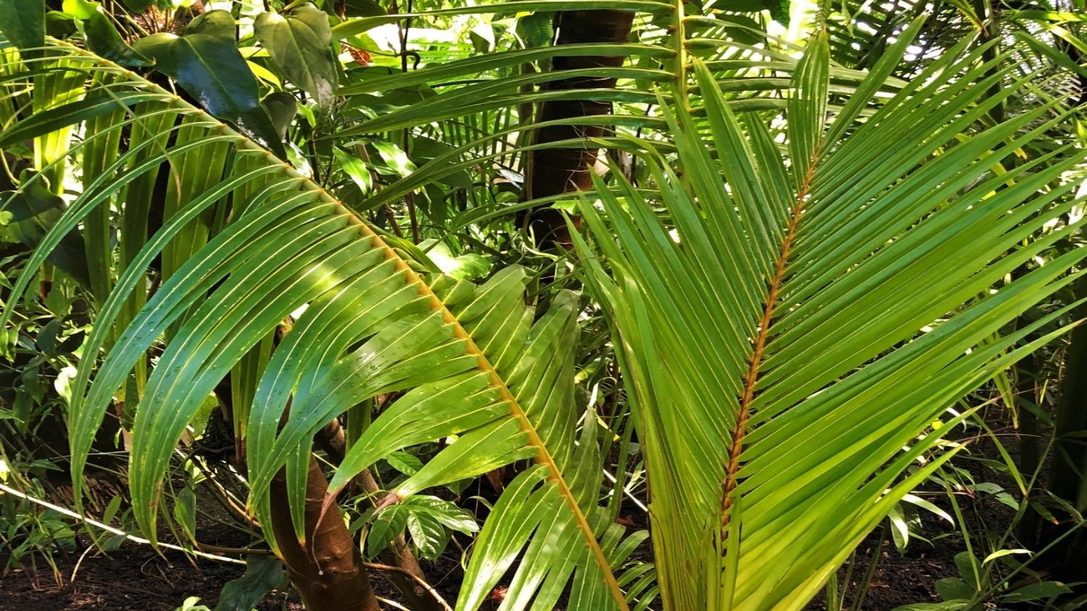 Green coconut palm leaves in Kew's Palm House