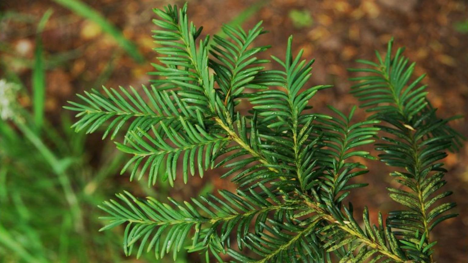 Narrow, needle-like, dark green leaves