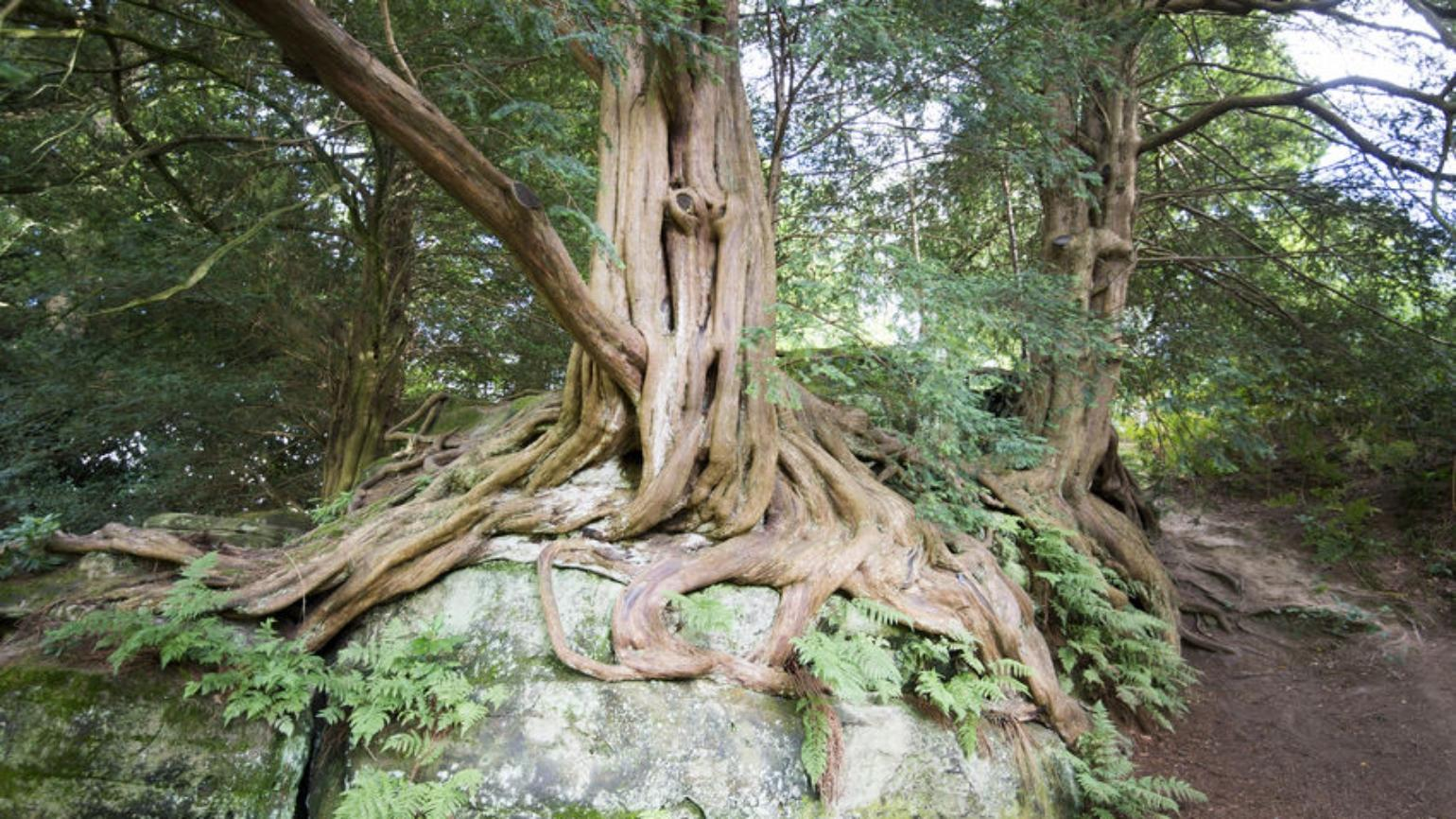 Yew tangling roots over rock