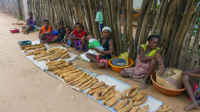 Image showing Wild yams are an important food for the Malagasy people and are harvested unsustainably. The 'Madagascar yam conservation for livelihoods' project led by RBG Kew involves communities in Madagascar and aims to conserve endemic yams