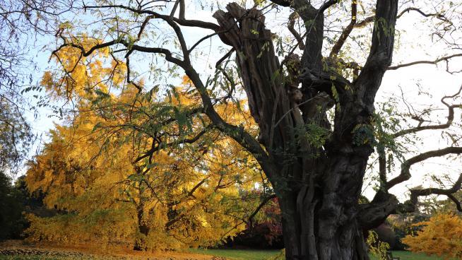 Black locust tree (Robinia pseudoacacia)