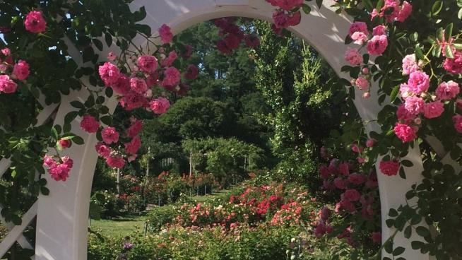 image showing the Rose Garden, Brooklyn Botanic Garden