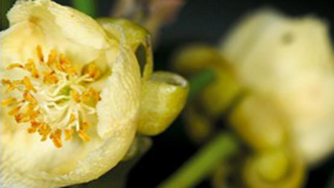 Burretiodendron esquirolii