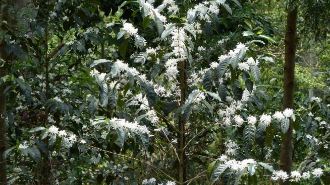 Flowering Arabica coffee (Coffea arabica) tree, cultivated under the shade of forest trees (Image: J. Williams, RBG Kew).